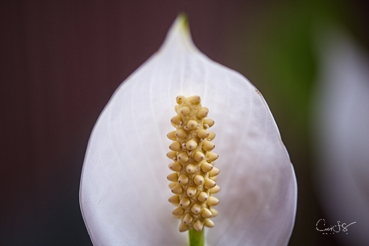 Peace Lily bud