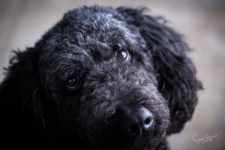 Harley, black poodle,