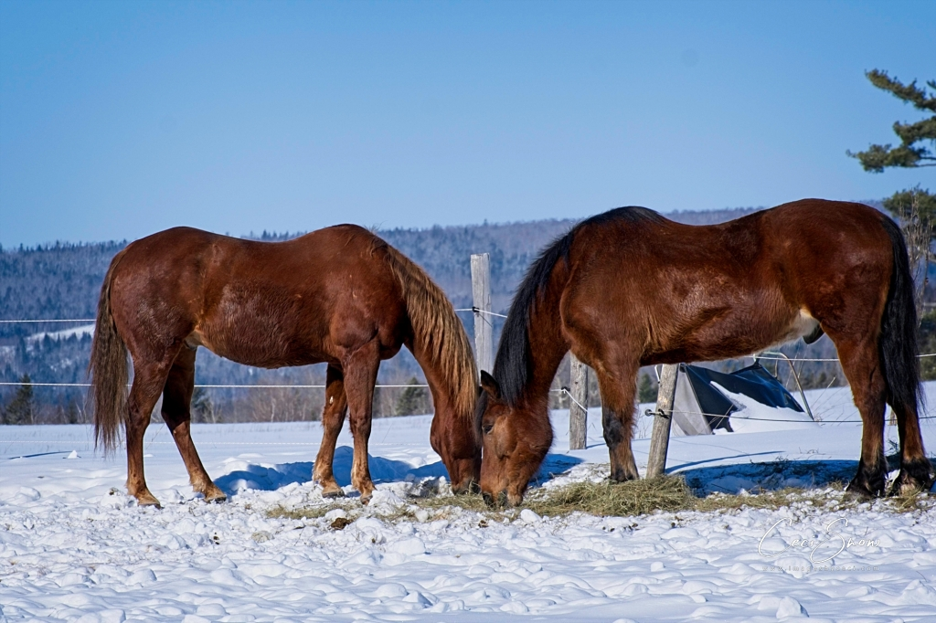 2 horses eating hay on the snow