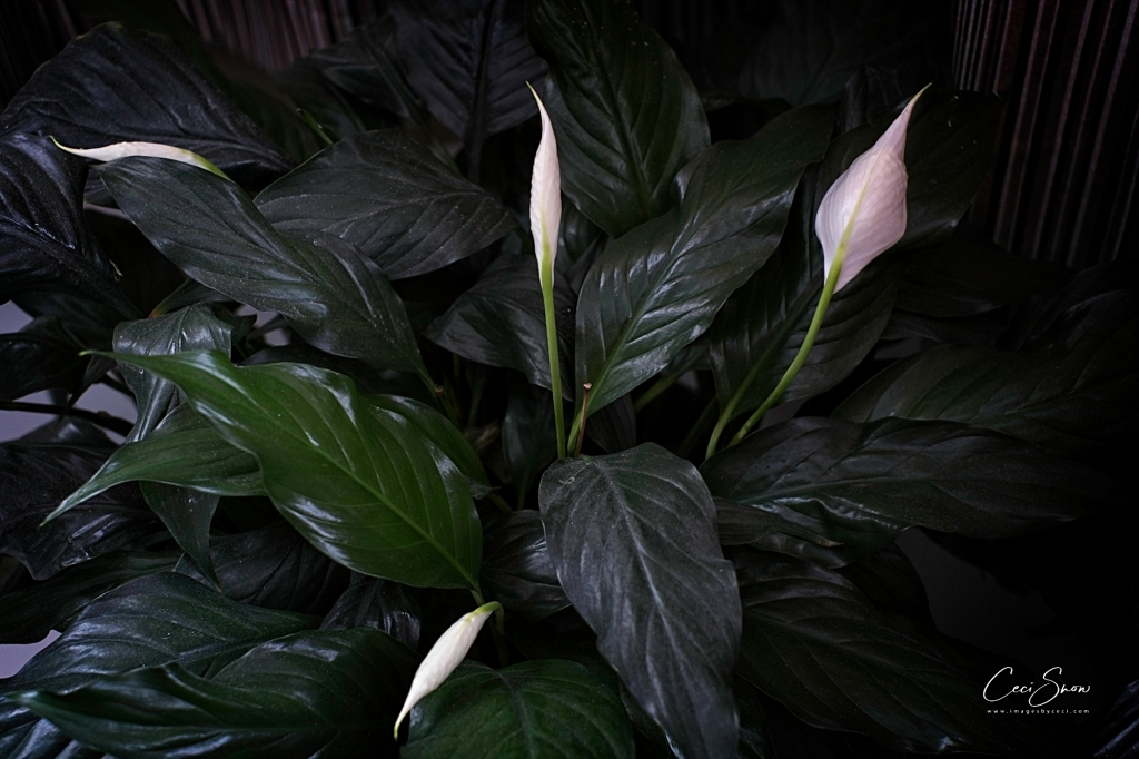 Peace Lily plant with four flowers