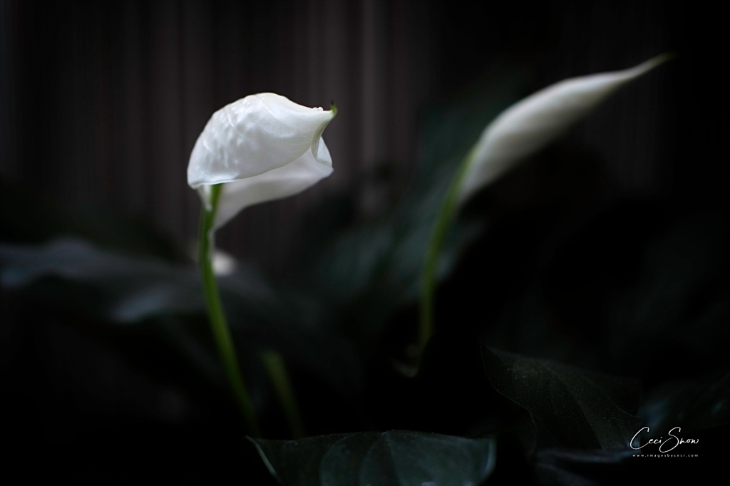 Peace Lily Flower opening