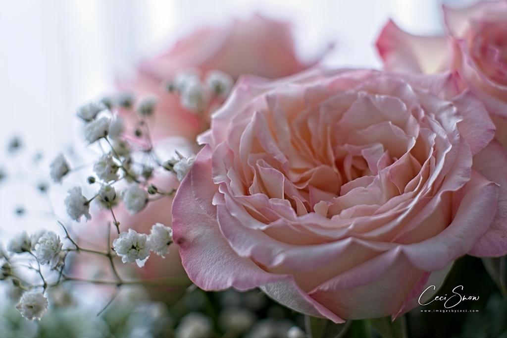 open pale pink rosebud