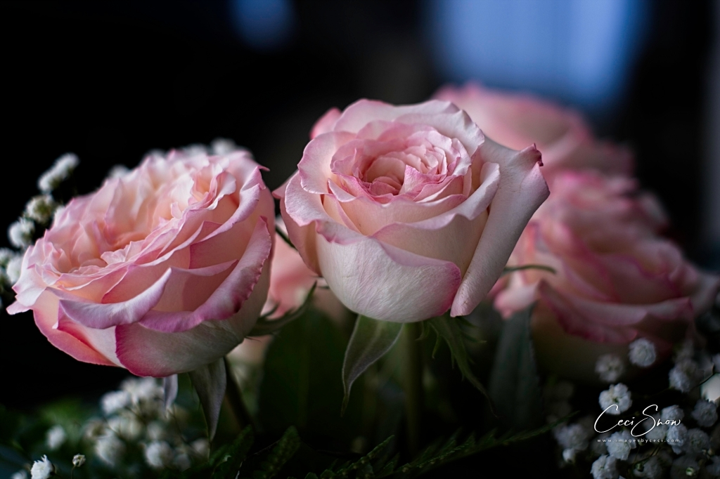 2 open pale pink roses